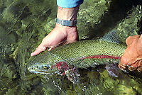 "24"" Rainbow Trout being released. Talaculitna River, Alaska"