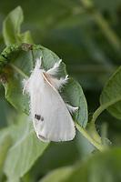 Schwan, Euproctis similis, Porthesia similis, Sphrageidus similis, yellow-tail, gold-tail, Goldtail Moth, Swan Moth, le Cul doré, le Cul-doré, Trägspinner, Lymantriidae, Schadspinner, Wollspinner, Lymantriinae