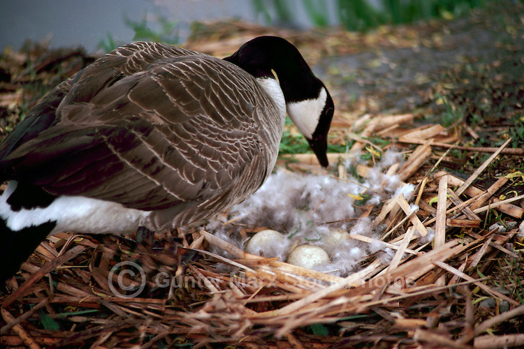Canada Geese (Branta canadensis) - Canada Goose Parent Bird checking Eggs on Nest on Ground