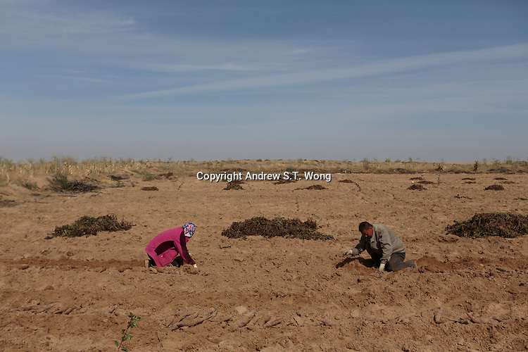 Local farmers, who are practising eco-agriculture, harvest sweet potatoes in Alxa Left Banner, Inner Mongolia, China, October 2017.