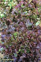 HS21-864x  Lettuce - Cerise and Red Salad Bowl varieties - leaf/red oakleaf