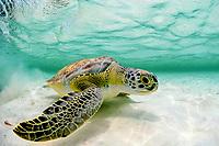 green sea turtle, Chelonia mydas, Florida, USA, Atlantic Ocean