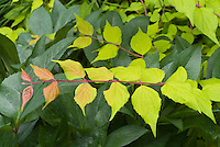 Kolkwitzia amabilis Dream Catcher ('Maradco') in June, late spring/early summer, branch of colorful foliage