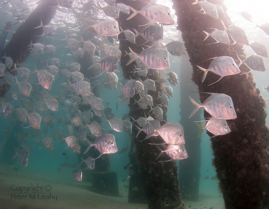 Schooling Lookdown fish under a pier in south Florida.