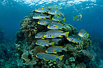 Lined sweetlips {Plectorhynchus lineatus} Ribbon Reefs, Great Barrier Reef, Australia