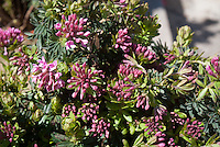 Daphne cneorum 'Ruby Glow' in bloom, fragrant flowering pink shrub for spring