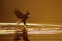 Bald Eagle catching a fish just after sunrise.  Pacific Northwest.