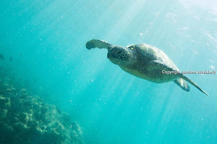 Sea Turtle Swimming at Hanauma Bay
