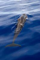 Short finned pilot whale (globicephala macrorhynchus) Easten Caribbean. A surfacing pilot whale.