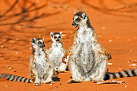 Ring-tailed Lemur (Lemur catta), adult, female, with its young, Berenty Game Reserve, Madagascar, Africa