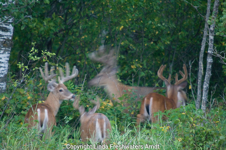 White-tailed buck (Odocoileus virginianus) in velvet - ghostly images