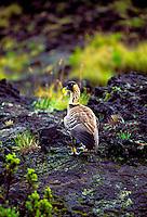 The Hawaii state bird, the nene goose at Haleakala National park, Maui