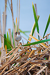 Marsh Wren on cattail reeds singing in spring mating season