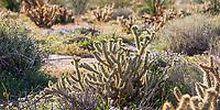 Cylindropuntia ganderi Gander's cholla cactus in desert landscape; California native plant Anza Borrego State Park