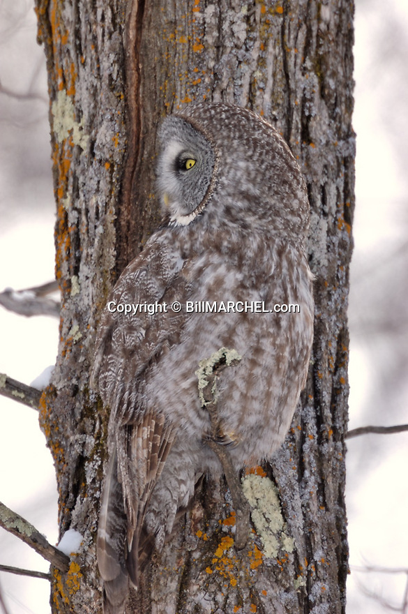 00830-05010 Great Gray Owl is well camouflaged as it is perched against tree trunk.  Sleep, rest, cryptic.