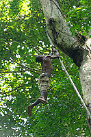 A difficult climb for this honey-hunter who, with his basket for gathering the honey, climbs up a liana to reach the fork in a giant of the forest.///Ascension difficile pour ce chasseur qui grimpe sur une liane pour accéder à la fourche d'un géant de la forêt avec son panier pour récolter le miel.