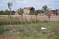 The Red-Crowned Crane, a threatened species at the Zhalong Wetlands, Heilongjiang Province. China. 2011
