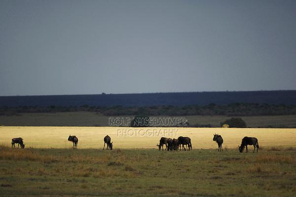 Wildebeest (Connochaetes taurinus), group in  savannah, Masai Mara, Kenya, Africa