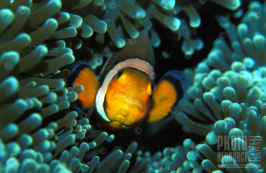 Clown Anemonefish are a favorite exibit at the Waikiki Aquarium, Oahu.