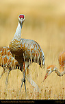 Sandhill Crane in Fall Plumage, Frontal Portrait, Yellowstone National Park, Wyoming
