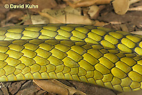 0423-1106  Mating Snakes, Pair of Western Green Mamba (West African Green Mamba) in Copulation, Closeup of Body Scales, Dendroaspis viridis  © David Kuhn/Dwight Kuhn Photography
