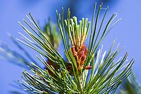 Zirbel-Kiefer, Zirbelkiefer, Zirbel, Zirbe, Arve, Pinus cembra, Arolla Pine, Swiss pine, Swiss Stone Pine, Austrian stone pine, Stone pine, Le pin cembro, le pin des Alpes, l'arol, l'arole, l'arolle, l'arve, l'auvier, le pin arolle, le tinier