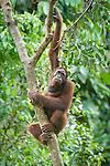 Male Orang-utan (Pongo pygmaeus) in forest canopy. Sukau, Kinabatangan River, Sabah, Borneo.
