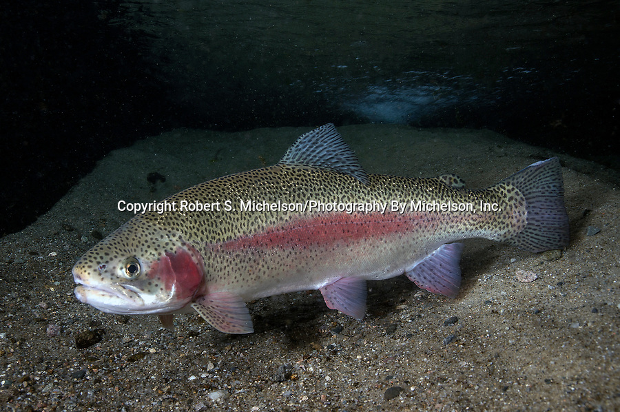 Rainbow Trout full body view facing left on sand bottom