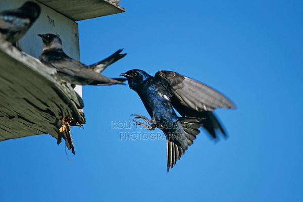 Purple Martin, Progne subis, male landing at nest box next to females, New Braunfels, Texas, USA, May 2001