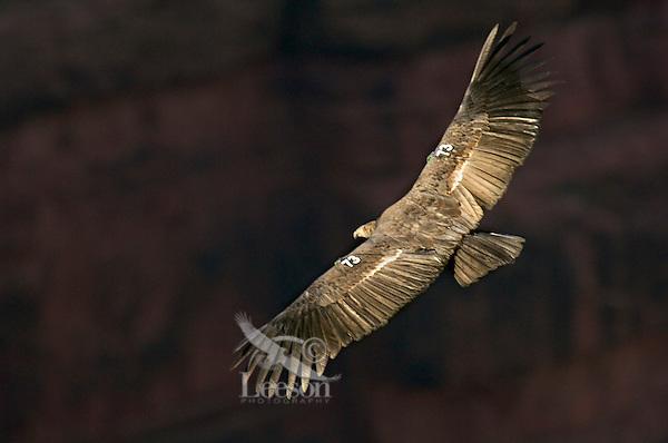 Immature California Condor (Gymnogyps californianus) soaring on thermals.  Southwestern U.S.