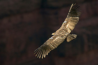 Immature California Condor (Gymnogyps californianus) soaring on thermals.  Southwestern U.S.