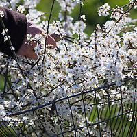 Schlehenblüten-Ernte, Schlehenblütenernte, blühende Schlehenzweige in einem Korb, Sammelkorb, Schlehen-Ernte, Schlehenernte, Ernte, Sammeln von Schlehenblüten, Schlehe, Gewöhnliche Schlehe, Schwarzdorn, Blüte, Blüten, Schlehenblüte, Schlehen, Prunus spinosa, Blackthorn, Sloe, Epine noire, Prunellier