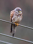 "Pictured:  A little drier, the kestrel after the shake.<br /> <br /> A kestrel appears to 'spin dry' itself by shaking its head vigorously after getting soaked in a downpour.  The bird of prey perches on a thin wire fence and periodically attempts to dry out its sodden feathers.<br /> <br /> The rare bird was photographed by retired university lecturer Michael Parnwell at a spot overlooking Cragg Vale, in West Yorkshire.  Prof Parnwell, 67, who lives in nearby Saltaire, said: ""I had noticed that every few minutes the kestrel would have a shake to dislodge the accumulating rain water, so I waited to try to capture this with a modicum of motion blur.  SEE OUR COPY FOR DETAILS.<br /> <br /> Please byline: Michael Parnwell/Solent News<br /> <br /> © Michael Parnwell/Solent News & Photo Agency<br /> UK +44 (0) 2380 458800"