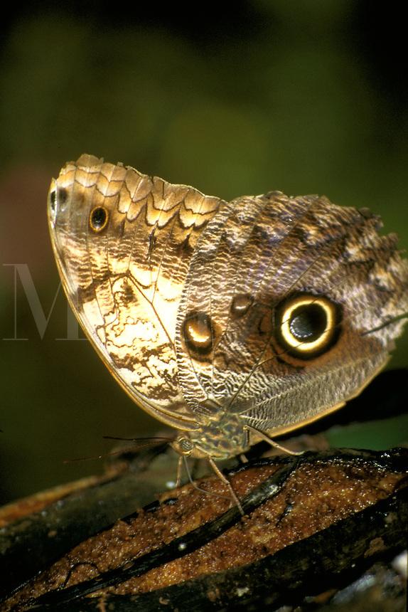 Caligo eurilochus sulanus- Butterfly in Costa Rica. Costa Rica.