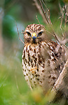 Red-shouldered hawk, Ding Darling National Wildlife Refuge, Florida