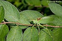 0815-0906  Common True Katydid (Northern True Katydid), Pterophylla camellifolia © David Kuhn/Dwight Kuhn Photography