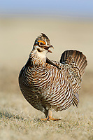 Adult male Greater Prairie-chicken(Tympanachus cupido) vocalizing on a lek. Ft. Pierre National Grassland, South Dakota. April.