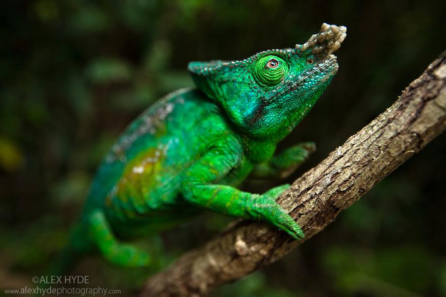 Parsons chameleon male (Calumma parsonii) climbing vine in tropical rainforest, Andasibe-Mantadia National Park, Madagascar.