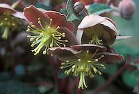 Helleborus lividus GR20117 closeup of flowers