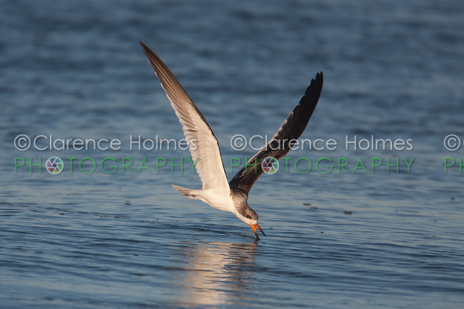 Black Skimmer (Rynchops niger) - Juvenile skimming for fish, Nickerson Beach, Lido Beach, NY