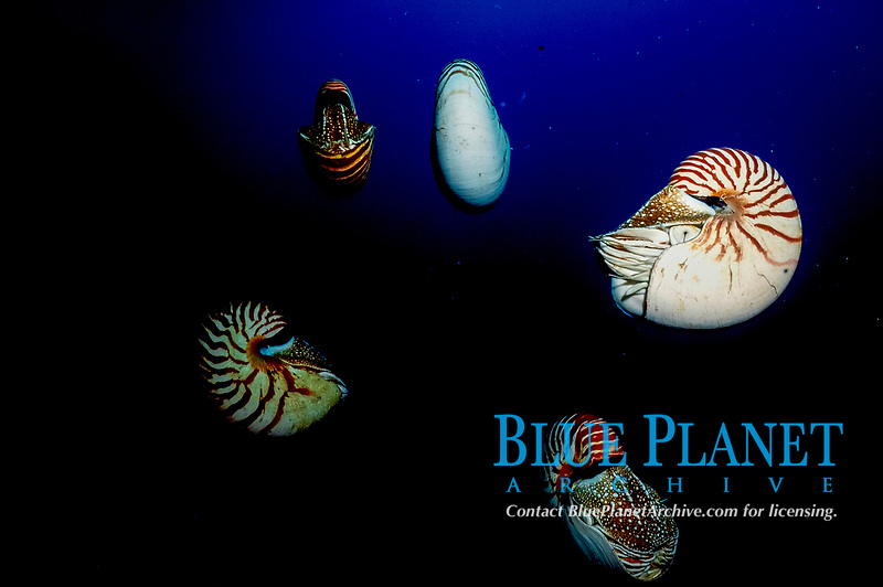 five chambered nautilus decending to the depths after feeding at the surface, Palua, Micronesia..