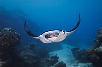 reef manta ray, Manta alfredi, feeding on coral spawn with mouth wide open, Goofnuw Channel, Valley of the Rays, Yap, Micronesia, Pacific Ocean