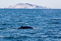Bryde's whale, Balaenoptera edeni, adult, surfacing, Isla San Pedro Martir, Baja California, Mexico, Gulf of California, Sea of Cortez, Pacific Ocean