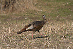 Eastern wild turkey - hen