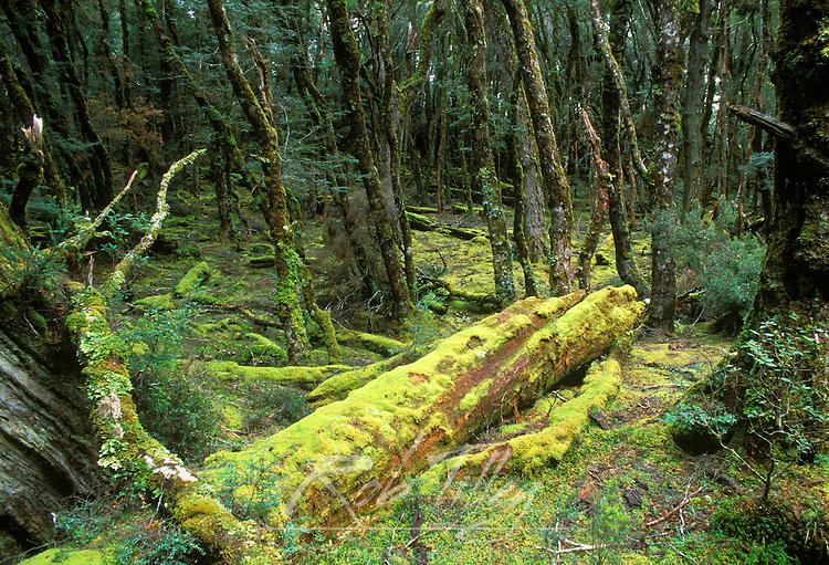 Rainforest, Cradle Mt. & Lake St. Clair NP, Tasmania, Australia