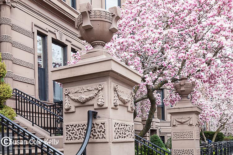 Springtime Magnolias bloom in the Back Bay, Boston, Massachusetts, USA
