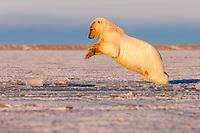polar bear, Ursus maritimus, plays in slushy pack ice, 1002 coastal plain, Arctic National Wildlife Refuge, Alaska, polar bear, Ursus maritimus