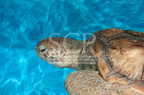 Arembepe, Bahia State, Brazil. Projeto Tamar turtle protection project. Turtle.