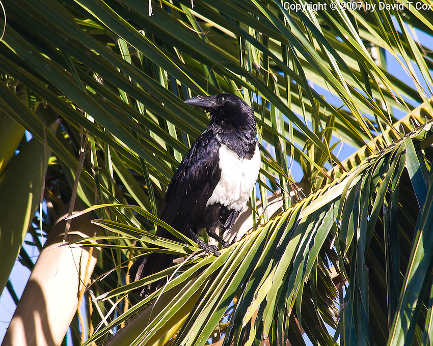 Pied Crow, Tofu Beach, Mozambique