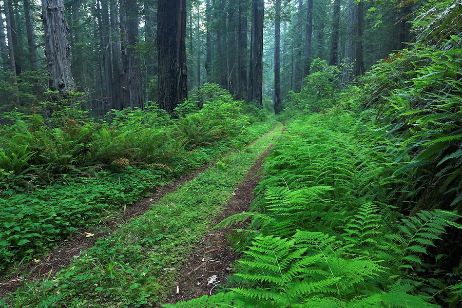 Coastal Trail through redwood forest, Del Norte Coast Redwoods State Park, Del Norte County, California